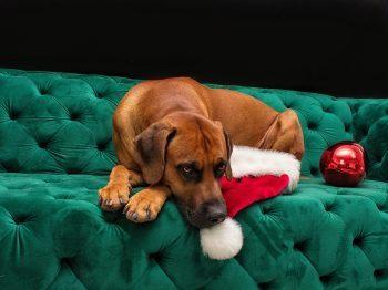 Weihnachtsshooting mit deinem Haustier